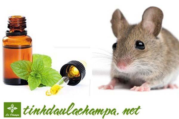 Đuổi chuột khỏi nhà bằng bông và tinh dầu bạc hà